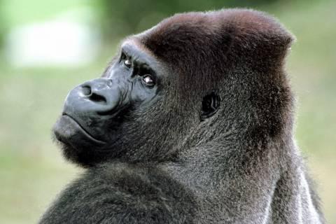 Вирус ВИЧ перекочевал от обезьяны к человеку