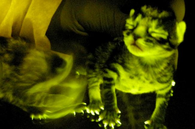 Милые зеленые котята могут дать человечеству средство защиты от ВИЧ