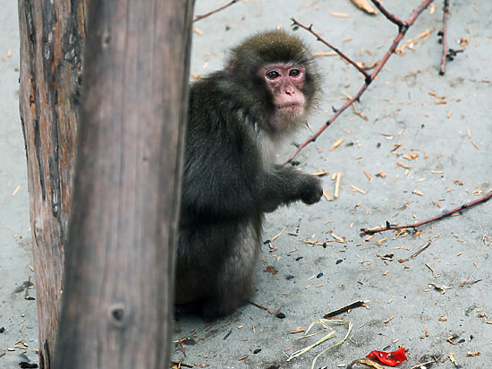 СПИД, возможно, пошел от обезьян в Камеруне