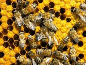 Наночастицы с пчелиным ядом убивают ВИЧ