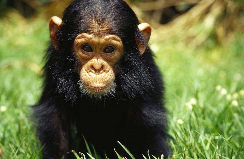 Ученым удалось вылечить обезьян от СПИДа