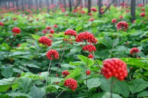 ТОП-5 трав для укрепления иммунитета