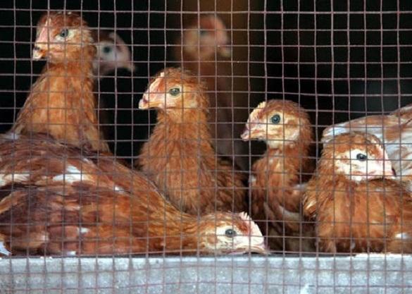 Более 550 тысяч птиц уничтожено на фермах Японии из-за птичьего гриппа
