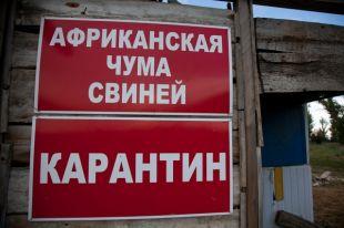 Отступила ли «свиная чума» от Волгоградской области?