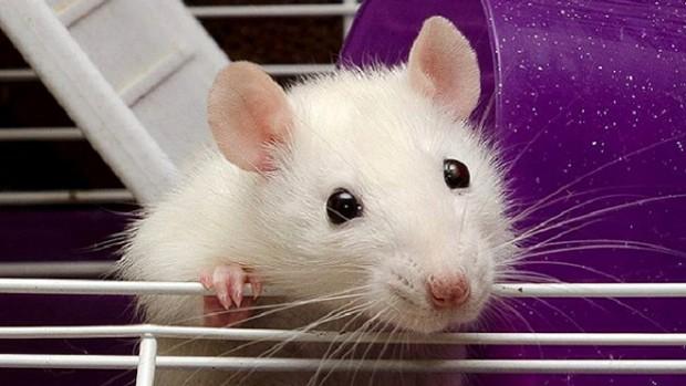 Вылечить от ВИЧ поможет ДНК грызунов