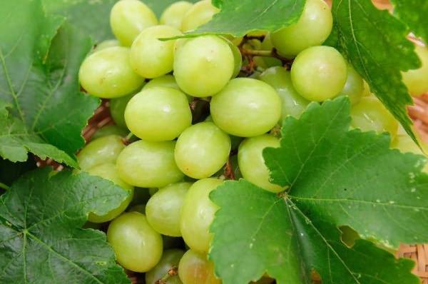 Описание сорта винограда Преображение и Восторг