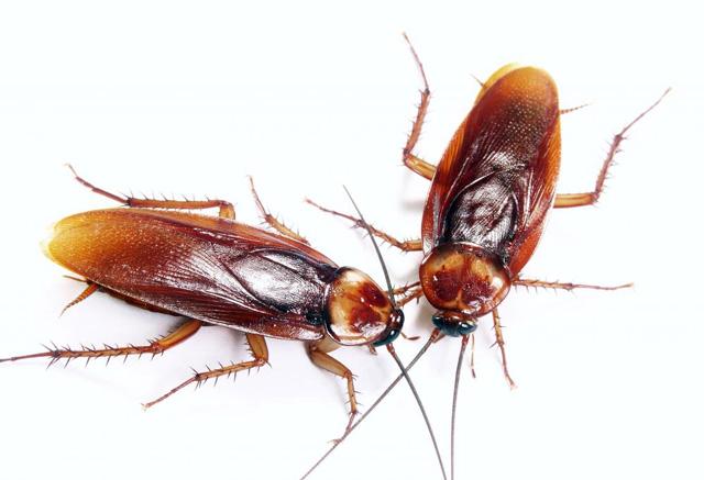 Как избавиться от тараканов народными методами.