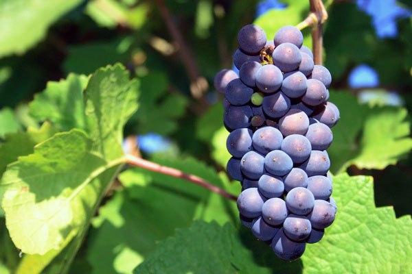 Как правильно выбрать сорт винограда