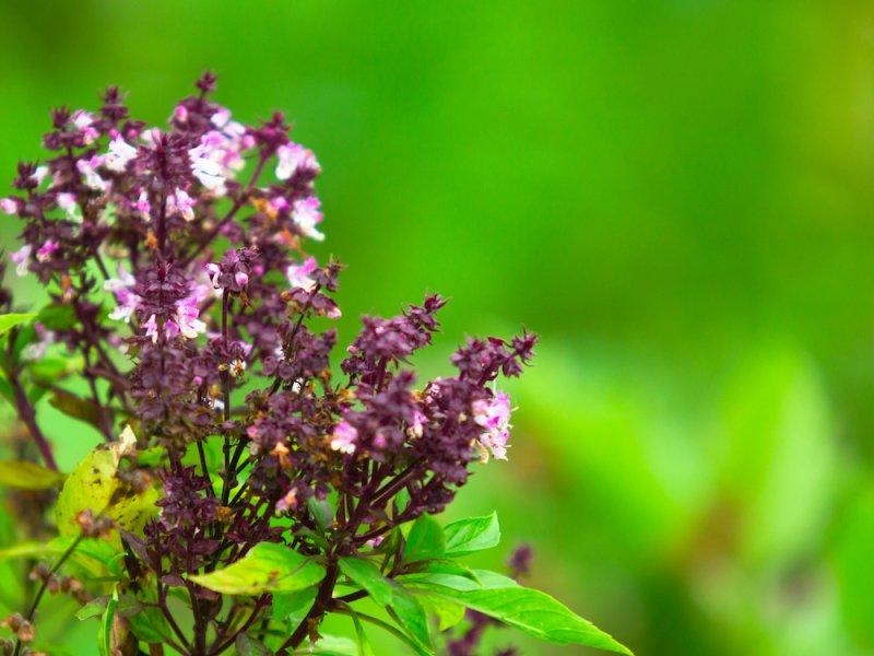 Листья туласи помогут укрепить иммунитет