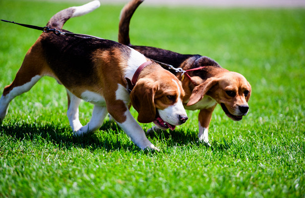 Могут ли собаки унюхать коронавирус