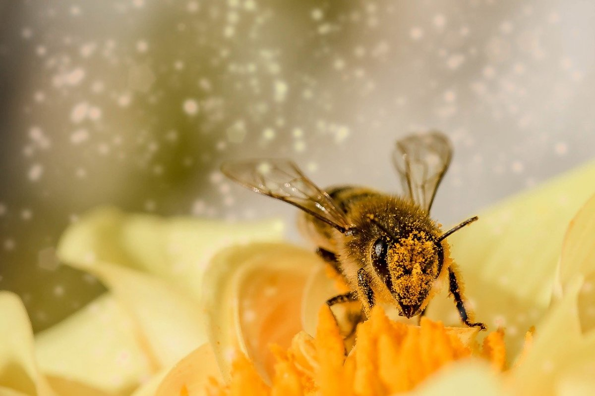 Пчелиная пыльца — суперпродукт, который повышает иммунитет, ускоряет заживление ран и облегчаем симптомы менопаузы
